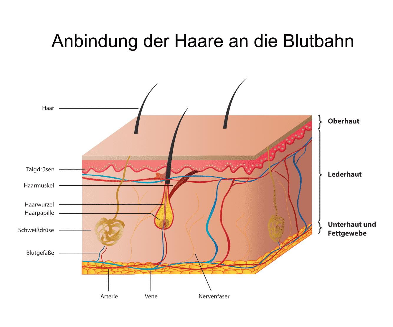Haaranalyse - Anbindung der Haare an die Blutbahn